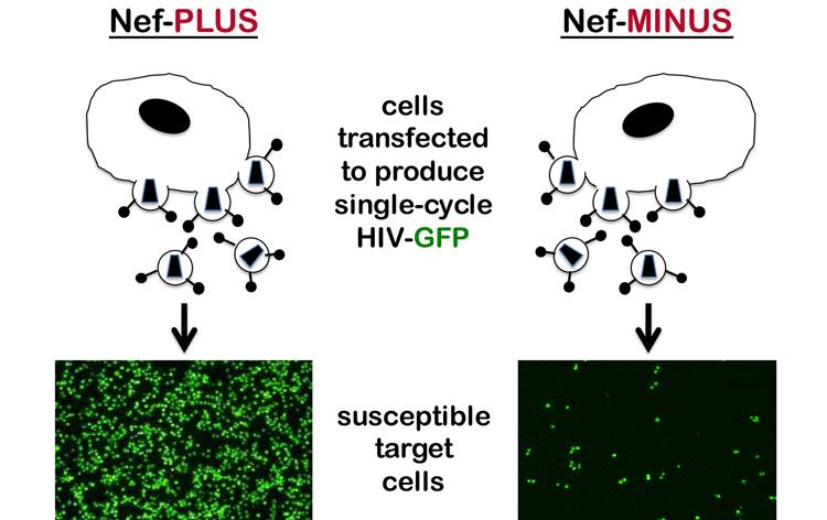nef-cells